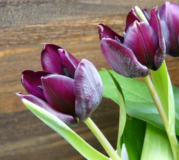 Decembersprøde tulipaner